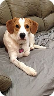 Beagle/Terrier (Unknown Type, Medium) Mix Dog for adoption in Seville, Ohio - Sophie