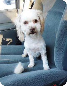 Poodle (Miniature)/Maltese Mix Dog for adoption in Shawnee Mission, Kansas - Paisley