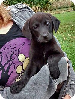 Labrador Retriever/German Shepherd Dog Mix Puppy for adoption in Florence, Kentucky - Paige