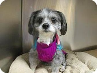 Shih Tzu/Poodle (Miniature) Mix Dog for adoption in Wallingford Area, Connecticut - Eloise
