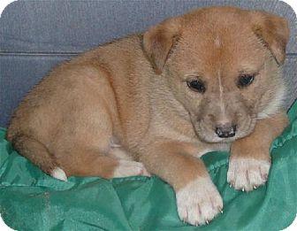 Shepherd (Unknown Type)/Spaniel (Unknown Type) Mix Puppy for adoption in San Antonio, Texas - Buffie
