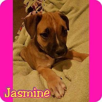 Labrador Retriever/Shepherd (Unknown Type) Mix Puppy for adoption in Mesa, Arizona - Jasmine