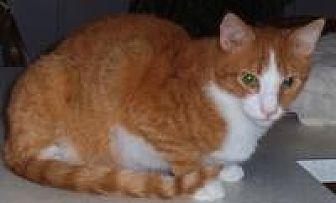 Domestic Shorthair Cat for adoption in Bear, Delaware - Burger