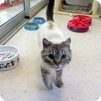 Siamese Cat for adoption in Janesville, Wisconsin - Archibald