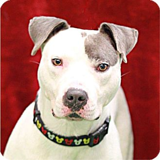 Staffordshire Bull Terrier Mix Dog for adoption in South Haven, Michigan - Bojangles