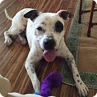 Adopt A Pet :: Spottie Pippin - Tampa, FL