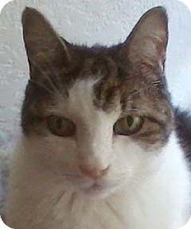 Domestic Shorthair Cat for adoption in Tiburon, California - Pip