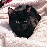 Domestic Shorthair Cat for adoption in Arlington/Ft Worth, Texas - Swiper