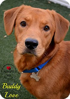 Basset Hound/Retriever (Unknown Type) Mix Dog for adoption in Youngwood, Pennsylvania - Buddy Love