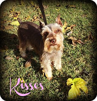 Miniature Schnauzer Dog for adoption in Phoenix, Arizona - KISSES