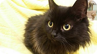 Domestic Longhair Cat for adoption in Berlin, Connecticut - Star