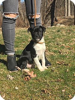 Terrier (Unknown Type, Medium)/Boston Terrier Mix Puppy for adoption in West Milford, New Jersey - LOUIE-pending