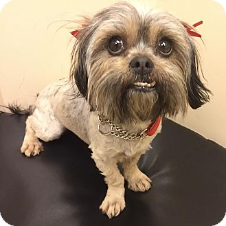 Shih Tzu Mix Dog for adoption in Los Angeles, California - FEATHER