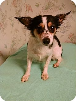 Chihuahua/Rat Terrier Mix Dog for adoption in Gallatin, Tennessee - Molly