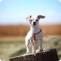 Adopt A Pet :: Chowder - Lubbock, TX