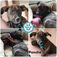 Adopt A Pet :: Poncho - Kimberton, PA