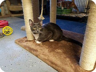 Domestic Shorthair Cat for adoption in Phoenix, Arizona - JAZZIE