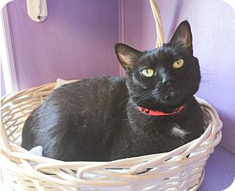 Domestic Shorthair Cat for adoption in Northbrook, Illinois - Mew