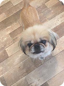 Pekingese Mix Dog for adoption in Venice, Florida - 79