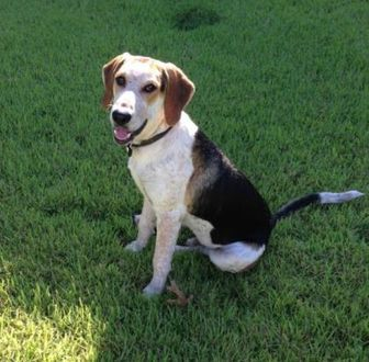 Treeing Walker Coonhound Mix Dog for adoption in justin, Texas - Cletus