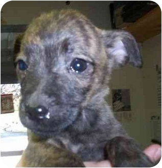 Terrier (Unknown Type, Small)/Yorkie, Yorkshire Terrier Mix Puppy for adoption in Princeton, Indiana - Firecracker