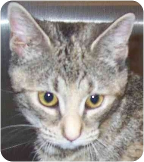 Domestic Shorthair Cat for adoption in Annapolis, Maryland - Pebbles
