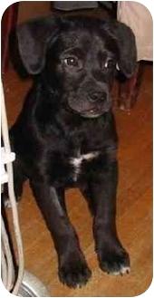 Labrador Retriever Mix Puppy for adoption in Avon, New York - Lance