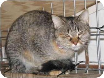 Domestic Shorthair Kitten for adoption in Drumright, Oklahoma - Tigger