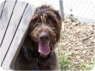 German Wirehaired Pointer Dog for adoption in Patterson, California - MAXXIMUS
