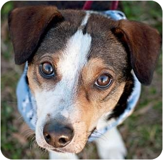 Beagle Mix Dog for adoption in Portsmouth, Rhode Island - Harvey