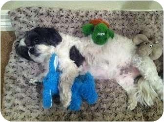 Shih Tzu Dog for adoption in Denver, Colorado - Zaney