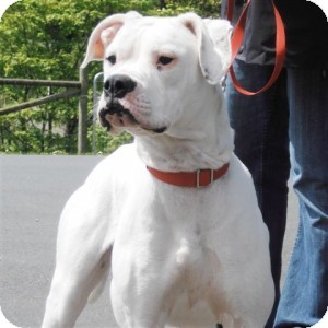 American Bulldog/Boxer Mix Dog for adoption in Victoria, British Columbia - Persia
