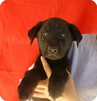 Golden Retriever/Labrador Retriever Mix Puppy for adoption in Oviedo, Florida - Rosie