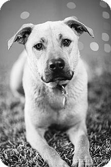 German Shepherd Dog/German Shorthaired Pointer Mix Dog for adoption in Portland, Oregon - Chester