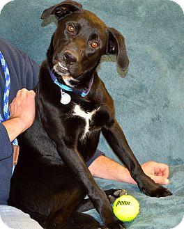 Labrador Retriever Mix Dog for adoption in Norwich, Connecticut - Oreo