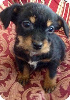 Yorkie, Yorkshire Terrier/Shih Tzu Mix Puppy for adoption in Oswego, Illinois - I'M ADPTD Mackenzie Olsen