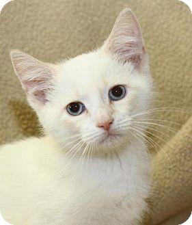 Siamese Kitten for adoption in Winston-Salem, North Carolina - Gucci