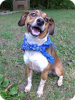 Beagle/Harrier Mix Dog for adoption in Mocksville, North Carolina - Ranger