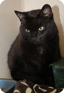 Domestic Shorthair Cat for adoption in Bucyrus, Ohio - Tim
