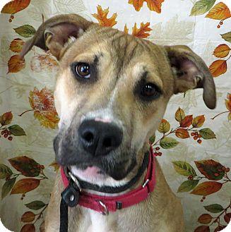 Boxer/Shepherd (Unknown Type) Mix Puppy for adoption in Middletown, New York - Peyton