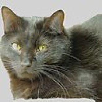 Domestic Mediumhair Cat for adoption in Pineville, North Carolina - Sherlock