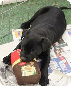 Labrador Retriever Mix Puppy for adoption in Concord, North Carolina - Jade