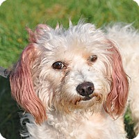 Adopt A Pet :: Maggie - Tumwater, WA