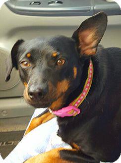 Miniature Pinscher Mix Dog for adoption in Hagerstown, Maryland - Nikko