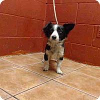 Adopt A Pet :: Buzzy - Simi Valley, CA