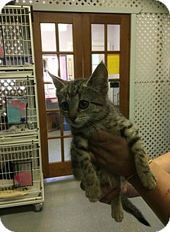 Domestic Shorthair Kitten for adoption in Bloomingdale, New Jersey - Melissa