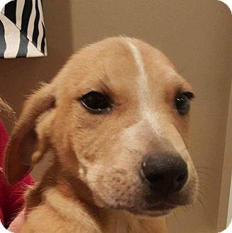 Hound (Unknown Type)/Boxer Mix Puppy for adoption in Williamsburg, Virginia - BROCK