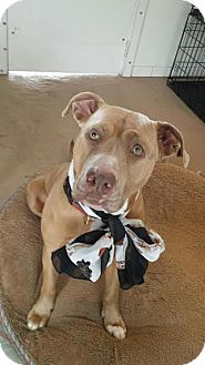 American Staffordshire Terrier Mix Dog for adoption in Manhasset, New York - Chelsea