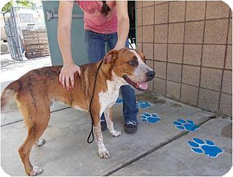 Labrador Retriever Mix Dog for adoption in Copperas Cove, Texas - Max