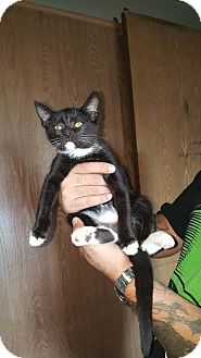American Shorthair Kitten for adoption in Lacey, Washington - Baby Boots